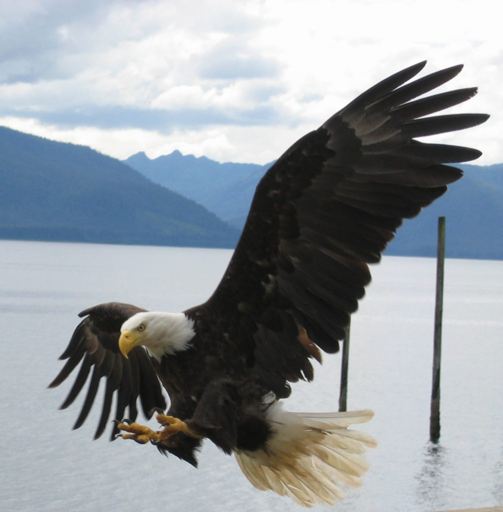 Bald Eagle in Tenakee